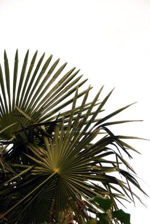 Photo pour Feuilles de palmier isolé sur blanc - image libre de droit
