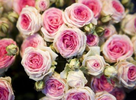 Photo pour Gros plan de quelques roses roses - image libre de droit