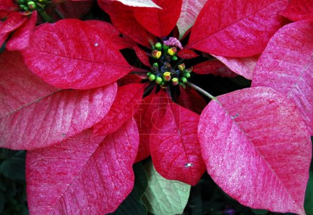 Red Poinsettia Flowers on Christmas