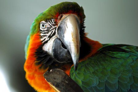 Red macaw bird head isolated