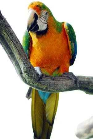 Green yellow macaw bird isolated