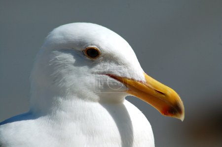 Herring Seagull bird