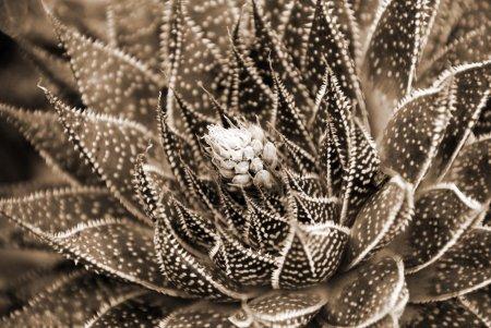 Photo pour Fleurs blanches sur sépia plante succulente aloès - image libre de droit