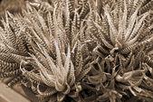 Fürtözött aloe nedvdús növény szépia