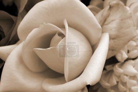 White Rose Flower sepia