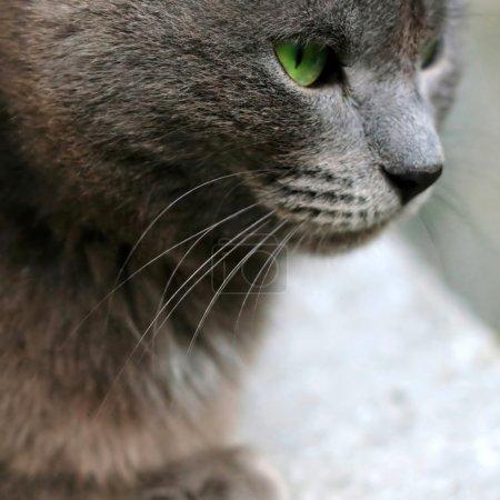 Gray cat closeup portrait