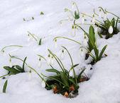 První sněženky mezi tající sníh