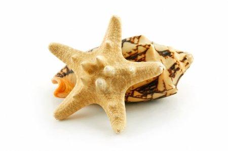 Colored Seashells Scallop and Starfish