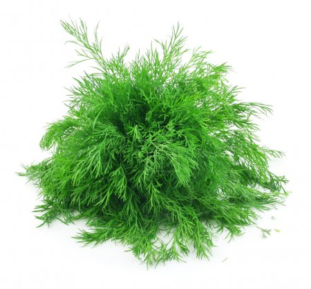 Photo for Bunch of Ripe Dill Isolated on White Background - Royalty Free Image