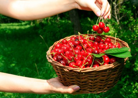 Woman's Hands Holding Basket of Ripe Che