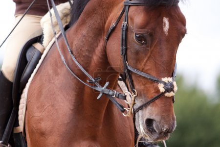 Bay horse training in bridle at summer