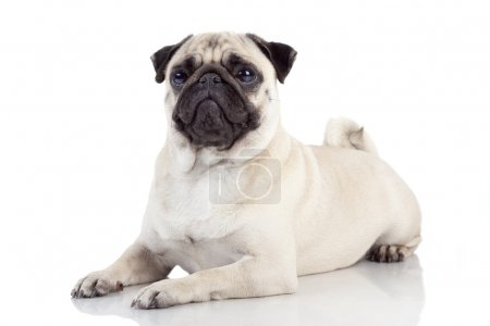 Pug isolated on white background