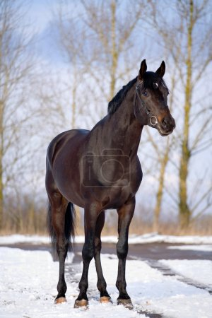 Trakehner stallion standing in snow