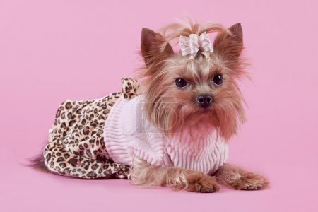 Yorkshire Terrier on pink background