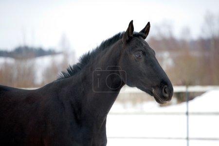 Retrato de caballo negro en paddock