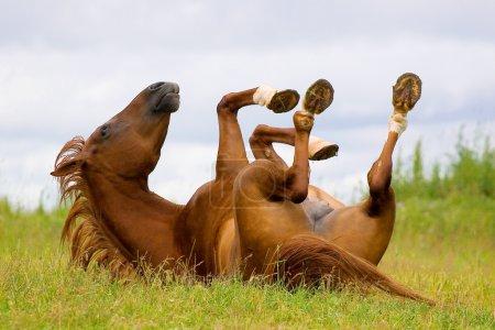 Photo pour Cheval jouer (cheval trakehner châtaigne) - image libre de droit