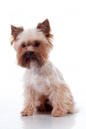 Yorkshire Terrier on white background