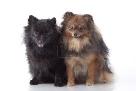 Pomeranian spitz-dog on white background