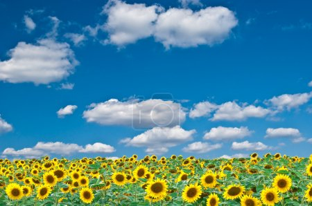 Photo for Bright field of sunflowers and the blue sky - Royalty Free Image