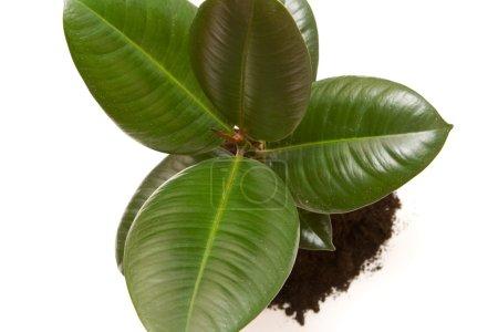 Photo pour Ficus vert gros plan sur fond blanc - image libre de droit
