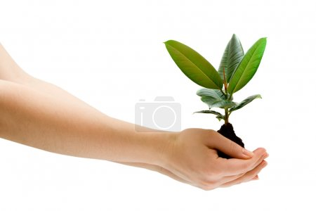 Photo for Female hand holding a small tree over white - Royalty Free Image