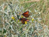Queen Butterflies 2