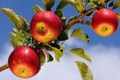 """Постер, картина, фотообои """"Блестящие яблоки в яблоневом саду"""""""