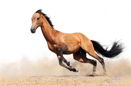Running bay horse isolated