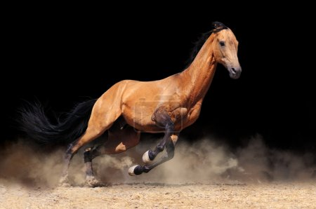 Running bay horse,isolated