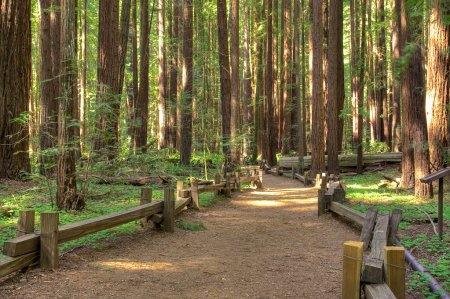 Photo for Following a trail in Armstrong Redwood Park, California. - Royalty Free Image