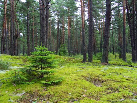 Young firs in pine forest.