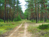 The road in pine forest.
