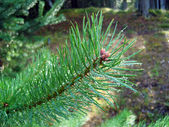Sparkling drops on pine needles.
