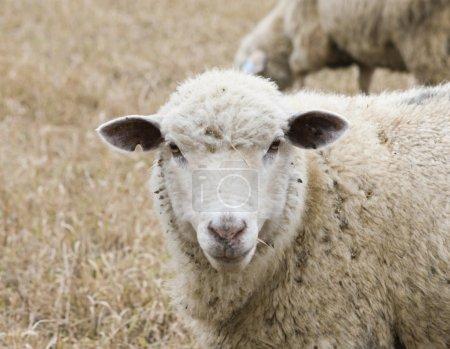 Photo pour Mouton blanc en automne champ - image libre de droit
