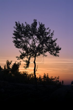 Olive Tree Silhouette Against Sunset