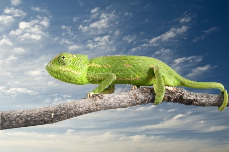 Green chameleon on a branch isolated on white...
