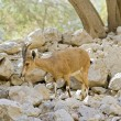 Young nubian ibex starring at camera in Ein-Gedi I...