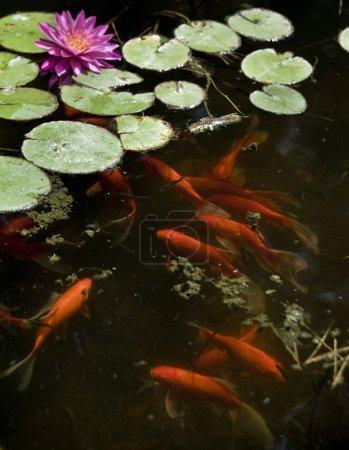 Photo pour Or ou Koi poissons dans un étang avec un nénuphar - image libre de droit