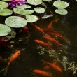Koi or gold fish in a pond with a water lily...