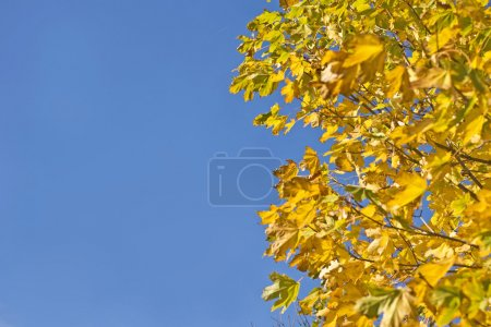 Fall. Yellow maple leaves and blue sky