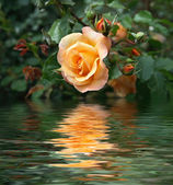 "Постер, картина, фотообои ""Yellow rose"""