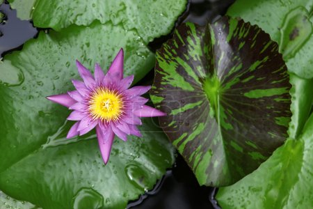 Photo pour Une fleur de lotus flottant dans un bassin couvert de nénuphars - image libre de droit
