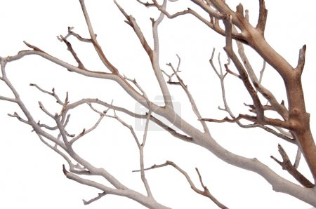 Photo pour Manzantia Branches d'arbres décoratifs Isolé sur blanc avec un chemin de coupe . - image libre de droit