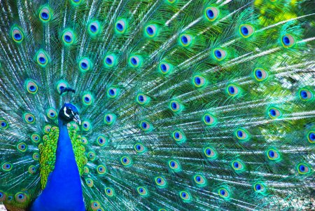 Photo for Beautiful peacock - Royalty Free Image
