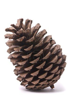 Photo pour Vue de face d'un cône de pin isolé sur fond de studio blanc - image libre de droit