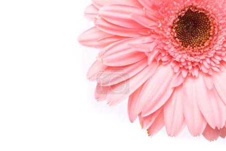 Photo pour Fleur de gerbera rose sur fond blanc - image libre de droit