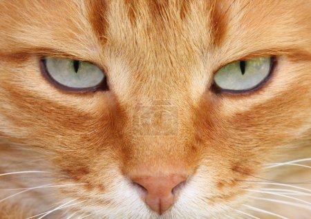 Photo pour Chat rouge avec gros plan mignon yeux gris - image libre de droit