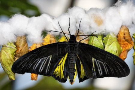 Butterfly and cocoons