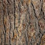 Bark of oak tree...
