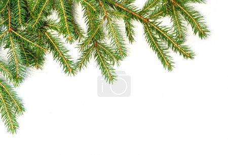 Fresh green fir branches